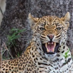 On photographing Leopards