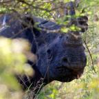 Diceros Bicornis (Black Rhino)