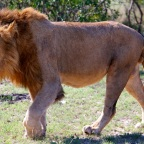 The Selati Males – A coalition of four male lions in Sabi Sands