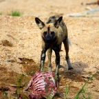 The Wild Dogs of Sabi Sands